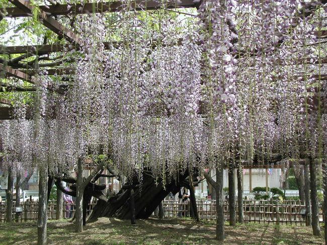 このフジはノダフジの一種で樹齢400年と推定される。幹廻り約4.8メートル、枝張り約700平方メートルにもなる埼玉県内でも有数の巨木です。<br />県指定天然記念物「玉敷神社の大藤」として、その名を知られ、薄紫の花房は一メートル余りにも達し、ほのかに漂う芳香は見る者の心を癒してくれます。