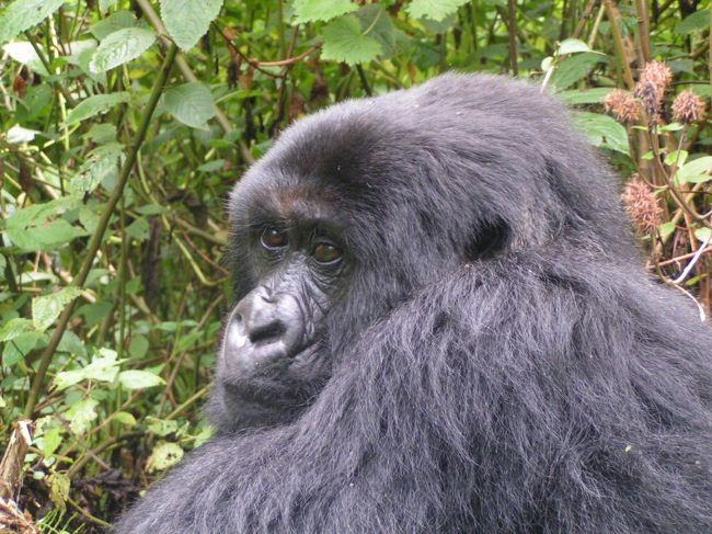 ルワンダのヴォルカン国立公園へマウンテン・ゴリラに会いに行きました。ケニアのナイロビからフライトで首都キガリへ。キガリからは車でウガンダ・コンゴ国境のルヘンゲリへ。<br />利用旅行会社はナイロビのタマシャ・アフリカ・リミテッド<br />http://www.tamasha-afrika.com(日本語)東京事務所もあります。<br /><br />マウンテン・ゴリラとの出会いは想像以上の感動!<br />ゴリラたちは自分たちの森への訪問者をさりげなく受入れ、餌付けされる訳でもなく拒絶も媚もせず、隣人のお散歩を見守るような温かさで私たちを迎えてくれました。直後はこれほどに懐かしむとは思わなかったのに、この特別な感情は時が経ち記憶が遠のくに連れ恋しさを増しています。<br />もう一度ゴリラに会いたい!あの深遠で平和なゴリラの森に帰りたい!! と日々思いは募るばかり。。。<br /><br />