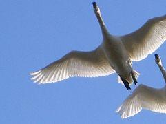 印西市散策(5)・・1,000羽以上のコハクチョウが飛来する、白鳥の郷を訪ねて