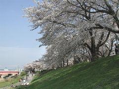 京都八幡、背割り堤の桜見物