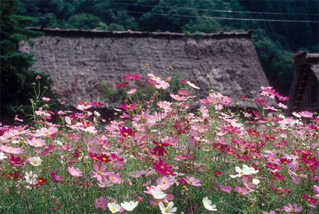 荘川村から御母衣ダムを通って、白川郷、五箇山へ行った。<br />ここは説明することもないだろう。行って見たかったのは利賀村であった。山道を登るようにして利賀村についた。<br /><br />利賀村は利賀芸術祭が有名である。私は演出家の鈴木忠志さんのファンなので、利賀村の舞台で上演されるギリシャ悲劇を見たいと思っている。しかし遠い。だからどんなところか寄ってみたかったのである。<br /><br />名物のお蕎麦を食べた。ソバ博物館があったので寄ってみた。おもしろかった。ソバの原産がインドやネパールなどヒマラヤ近辺で、東西に広まって行ったとあった。ネパールでソバを食べているのは知っている。ただしすごく甘くして食べている。ヨーロッパでもソバのクレープを食べている。ノルマンディでは名物になっている。ソバは平安の頃から日本に入ってきていたようだ。たぶん蕎麦掻や団子にして、また汁物に入れていたかもしれない。<br /><br />私の知りたかったのは切りソバについてである。切りソバもはじめはカケではなかったかと思われる。セイロやザルのようにタレにつけて食べる食べ方はいつごろからか気になっていた。博物館の説明によると、江戸、深川の何某が切りソバをはじめ評判になったとあった。そうだろうな、江戸ならわかる。山の産物のソバが、出汁と出会うのは海辺の方が自然だ。それに鰹節や昆布は一般庶民が日常に食べられたものではなかったろうから。深川なら納得だ。<br /><br />手すき和紙を買った。私は和紙が好きなんだ。あると買いたくなってしまう。今は使うこともないのだが。