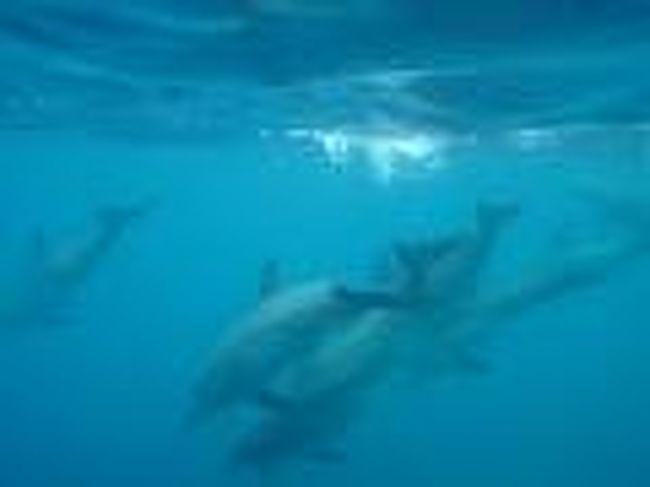 ドルフィンスイム<br /><br />御蔵島は野生のイルカが通年棲みついている<br />世界でも大変珍しい、東京都にある島。<br />その為、世界中からイルカの研究者が訪れる。<br /><br />素晴らしいのは海ばかりでなく、<br />山には巨樹と認定された幹が数多く存在し、<br />世界一のオオミズナキドリの繁殖地ともなっている。<br />外敵のいない御蔵島はオオミズナキドリにとって、<br />最高の棲みかであったが、<br />近年、人間が飼っていた猫が山で野生化し<br />オオミズナキドリを襲うようになった。<br /><br />オオミズナギドリの糞が巨樹を育て、<br />巨樹が栄養を沢山含んだ水を山に蓄える。<br />御蔵島の地形は断崖絶壁。<br />海から吹いてきた風が御蔵島にあたり<br />急激な気圧の変化を起こし、雨を降らす。<br /><br />その為、御蔵島は島にしては珍しく<br />降水量がとても高く、水量の豊富な島となっている。<br />その栄養分を豊富に含んだ水が山から海に流れ、<br />海では沢山のプランクトンが育つ。<br /><br />そのプランクトンを食べる小魚も島周辺には豊富におり、<br />その小魚を食べる中魚も多く、イルカも安定した食事ができる。<br />また魚量の豊富さには黒潮も関係している。<br /><br />通年を通じて豊かな海であると同時に、<br />断崖絶壁となっている島側からは<br />鮫などの外敵が襲ってくる心配もない為、<br />イルカにとっては最高な安心して棲める環境といえる。<br /><br />全ての自然のバランスがうまく保たれ維持できている、<br />なんとも絶妙なバランスと言えるだろう。<br />しかし現在は野生化した猫による被害が心配され、<br />この絶妙な自然のバランスが崩れないとは言い切れない。<br /><br />人間が島に連れ込んだペット、猫。<br />自然にとっていつも人間が一番の加害者である事は、<br />紛れもない事実である。