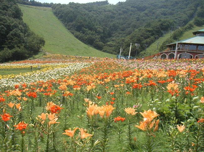週末を利用して群馬県の「尾瀬岩鞍ゆり園」と「吹割の滝」に、日帰りで行ってきました。「尾瀬岩鞍ゆり園」はスキー場「ホワイトワールド尾瀬岩鞍」です。<br /><br />旅行のパンフレットで「那須高原の400万本のユリ」を観に行く日帰りツアーを良く見ます。インターネットで調べてみたら、恐らく那須塩原のハンターマウンテンゆりパーク (http://www.hunter.co.jp/) らしい事がわかりました。私達も行ってみることにしましたのですが、家から東北道はアクセスがよくありません。話に聞いていた片品のユリ園を検索したところ、尾瀬岩鞍ゆり園を発見。300万本ですが、アクセスの良さで尾瀬岩鞍に変更!<br /><br />ホームページをみて開花状況を確認して出掛けました。又、開園・閉園間際がお勧めとのことだったので、今回は朝早めに出発する事に。<br /><br />しか〜し、お寝坊な私の所為で予定時間を30分遅れて出発(笑) 関越道は長野方面に向かう車が多いようで、結構込んでいました。朝ごはんは駒寄SAでうどんを食べました。素うどんですが、わかめが入っていて¥260は良心的です。が、道が混んでいたせいか、皆の朝ごはんが一緒になってしまったようで。スナックコーナーは大混雑。満席で座れず、立ち食いになってしまいました。環境に影響されて、悲しくなってきました(T_T) 朝ごはんは失敗でした。<br /><br />関越道沼田ICを降りてR120を尾瀬・日光方面へ向います。尾瀬大橋のR401を尾瀬方面に向かうと「ホワイトワールド尾瀬岩鞍」の看板が出てきます。看板にそって左に進むと、係の人が誘導してくれ到着です。途中、ステ看板が一杯でているので、簡単に辿り着きます。<br /><br />到着は結局10:00でした。第一駐車場はもう満車ということで、駐車した所は第二駐車場でした。無料シャトルバスが出ているので、すぐ入り口へ送ってもらえました。サクサク運行しているので、気持ち良く移動できます。なお、第二駐車場は入り口まで結構近いので、歩いてもいけそうな距離でした。<br /><br />先ずは、岩鞍リゾートホテル脇の入り口で入場券とリフト券を購入。入り口で係の人が「リフト券は片道で、行きはリフトで帰りは遊歩道を歩いて下ってくるのがお勧めです」と、拡声器で声をかけて教えてくれてました。どうやら、リフトで往復すると、一部見られないユリ畑があるので、片道をお勧めしてるようです。きちんと教えてくれるのが良心的ですね♪<br /><br />入場料:大人¥1000<br />リフト代:大人片道¥500、往復¥800<br /><br />以前、たんばらラベンダーパークに行ったとき、往復リフト券を買って失敗した経験があったので、私達も片道だけにしました。ただ、下り斜面は結構きつめでした。足腰が弱い方が御一緒の時は要注意です。<br /><br />入り口や園内各所で、無料で傘や杖を貸し出しています。私たちは傘を借りましたが、重宝した反面、邪魔な時もありました。園内の至る所に回収場所があるので、とりあえず借りて出かけるのが良いかもしれません。<br /><br />リフトに向かう途中にゆりを販売していました。ここは帰りも通ります。<br /><br />入り口脇にある尾瀬岩鞍リゾートホテルには日帰り入浴の可能な天然温泉(¥600)があります。又、グランドゴルフもできるようでした。<br /><br />ユリ園を楽しんでもどってくると、時間は12:00過ぎ。この時、温泉の事をすっかり忘れてしまっていて、今回は入浴しそびれちゃいました。失敗、失敗 ^^; 又、シャトルに乗って駐車場にもどりました。帰りもほとんど待つことなく駐車場まで帰れました♪ 帰り道でもあるので、吹割の滝に寄る事に。お昼も吹割の滝付近で食べる事にし、ゆり園を出発♪<br /><br />後半の吹割の滝はこちらです。→ http://4travel.jp/traveler/first-step/album/10083146/<br /><br /><br />尾瀬岩鞍ゆり園ホームページ: http://www.oze-iwakura.co.jp/yuri/index.html<br />営業時間:9:00〜16:00<br />リフト運行時間:9:00〜16:00(登り最終)<br /><br />四季の森 ホワイトワールド尾瀬岩鞍[尾瀬開発株式会社]<br />〒378-0412 群馬県利根郡片品村土出2609 <br />電話 0278-58-7131<br />FAX 0278-58-7385<br />
