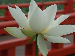 2005年蓮の花咲く高田のお城