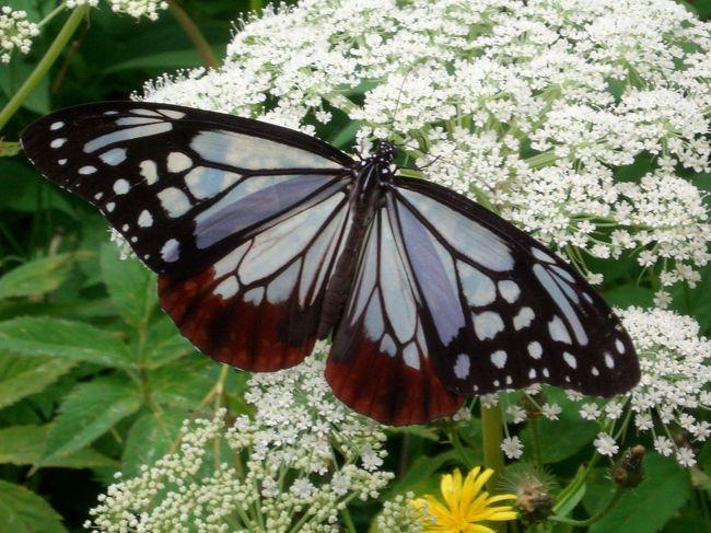 帰省した妹とおいっこと一緒に家族旅行へ。<br />小学生の頃でかけた栂池自然園を訪ねました。<br /><br />トップの写真はアサギマダラという蝶です。