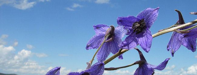 モンゴル2006花