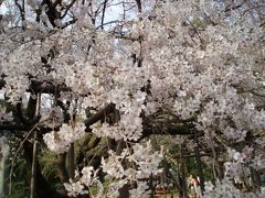 東京☆六義園の枝垂桜☆