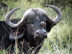 South Africa:リンポポ州でリアルLion King