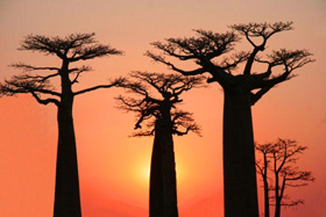 マダガスカルへ行って来ました。何処に位置し、どんな国か分かる人は少ない。成田からバンコクで乗り換えマダガスカルまで約15hr、時差は-6Hr! 胴太の変な格好のバオバブの木やテレビで見た横とびの猿など記憶に残っている・・。不思議な動・植物の宝庫!小さな島と思いきや!何と日本の約1.6倍だ!世界で4番目に大きい島である。アフリカ・モザンピークの沖合い400km離れたインド洋に浮かぶ島だがアフリカやインドとは全く異なる動・植物や文化を持つ。アフリカ、アジア、ヨーロッパの文化が複合した不思議な島。行ってみないと分からない。今回もまた新しい発見・感動があった。やはり旅は楽しい・・!<br /><br />詳細は<br /><br />http://yoshiokan.5.pro.tok2.com/<br />旅いつまでも・・★画像で見る旅行記<br /><br />をご覧ください。