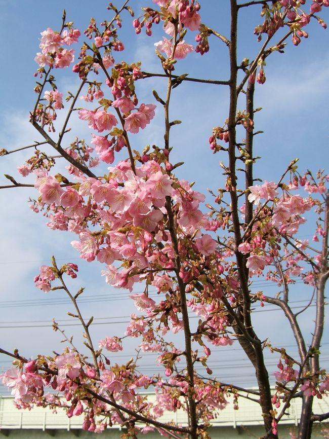 我が家から600?歩くと川沿いの散歩道がある。<br />卒業した中学校の横を通り、橋への坂道を上がると展望が開け、<br />南に散歩道が続いている。数年前に植えられた桜の若木の内、十数本の河津ざくらが見頃となったので、デジカメ片手に出掛けた。