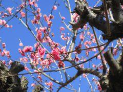 武蔵丘陵 森林公園その3:癒しの梅花、近くで撮れれば満足さっ!