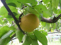 梨狩りをしよう@滋賀県は東近江市で。