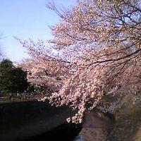 2005 花見~善福寺川緑地