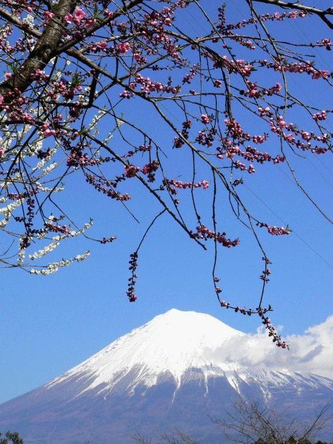 日頃見慣れている富士山ですが、この日は朝から晴れてあまりに綺麗だったので、お昼休みに富士山撮影の有名スポット岩本山公園に行って富士山の写真を撮ってきました。<br />公園内には沢山の梅が咲いていて、平日だというのに大勢のカメラマンやアベックが来ていました。<br />岩本山は富士市と富士宮市の境にある標高100メートル余りの山で、頂上に整備された公園があって、展望台、芝生の広場、クレー射撃場などがあります。<br />また、園内の丘にはたくさんの梅や桜の木が植えられて、花見のスポットとしても知られはじめました。