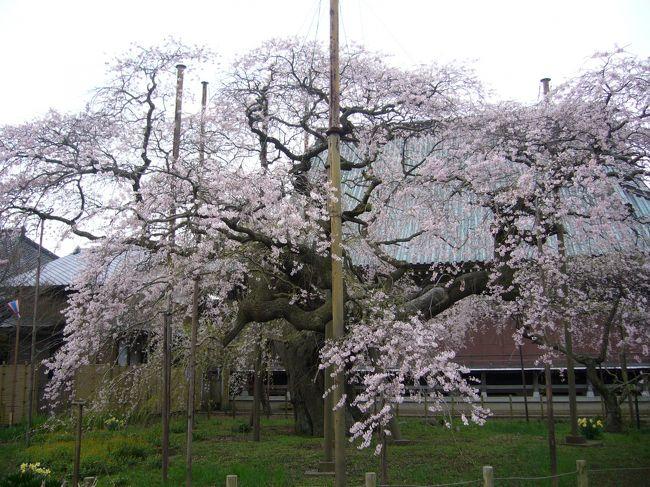 訪問場所 竜ヶ崎市般若院<br /> YAHOOの桜情報で般若院の枝垂れ桜が満開との事だったので出勤前に桜見物をしてきました。