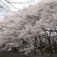 ちゃあちゃんの桜追っかけ2007年 結局近所