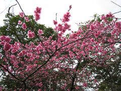 桜舞う沖縄と美ら海水族館 湯ったりプラン