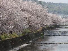 尾道 桜土手の桜並木