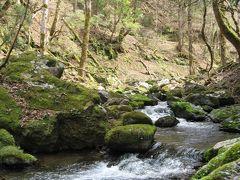 春の芦生原生林 トロッコ道を歩く