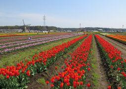 佐倉市散策(4)・・佐倉チューリップ祭りを訪ねます。