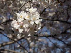 2007 柿生川の桜