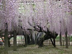 樹齢400年の大藤