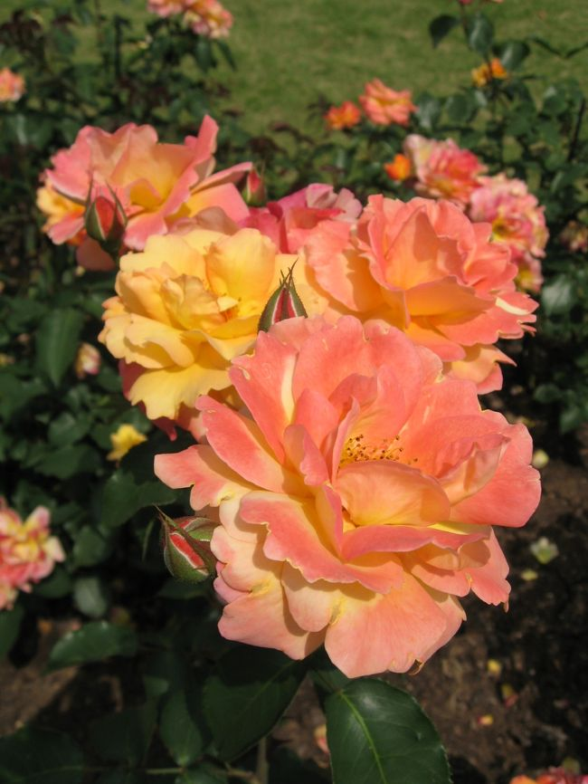 京都府立植物園で<br />アンネのバラ☆アンネ・フランクの形見☆が満開<br />だと言う情報を得て植物園に行って来ました。<br /><br />バラ園は色とりどりのバラの馨しい香りに<br />包まれていました。<br />アンネのバラは六月中旬ごろまで楽しめるそうです。