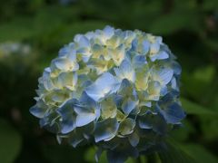 あじさい寺の紫陽花