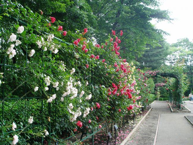 6月10日は、(というよりその2,3日前から栃木県地方は不安定な天気で、雷・豪雨といった気候が続いていました。)午前中から今にも降り出しそうな天気でした。<br />花を見るなら雨の降り出す前にと思い、真岡市にある井頭公園に向かって出発。<br />ここには1万人プールなどもあり、夏にはたくさんの人で賑わいますが、最近バラの庭園も有名となり、10日ほど前のNHKテレビの首都圏情報で、美しく咲くバラが紹介されたばかり。ピークは過ぎていると思われましたが、行ってみようということになりました。<br /><br />