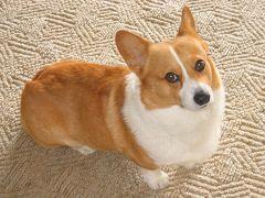 マフィン、帰国子女への道 ***犬のアメリカ入国から日本帰国まで