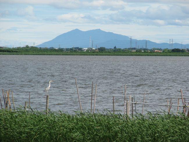 印旛沼は、多目的貯水池として安定的な水利用ができるように、沼の水位を一定に保つよう管理されています。<br />沼の水位が低下した場合は、利根川の水を長門川を通じて酒直揚水機場から汲み上げます。また降雨により沼の水位が上昇した場合は酒直水門から長門川へ自然排水し、印旛水門から利根川へ流れていきます。<br />台風などで大雨が降り、利根川の水位があがり、印旛沼の水を自然に利根川へ排水できなくなった時は、利根川に繋がっている印旛水門を閉め、利根川から長門川に逆流するのを防ぐとともに、印旛排水機場のポンプを運転し利根川へ排水します。<br />それでも印旛沼の水位が下がらない時は、さらに大和田排水機場のポンプを運転して、花見川を通じて東京湾に排水します。<br /><br />印旛沼の水は、千葉県民の大切な水瓶です。1年間に使われる水の量は、2億9千万立方メートルで、60%が工業用水として京葉工業地帯へ送られ、24%が農業用水として周辺6300ヘクタールの田畑を潤し、16%が水道用水として千葉県柏井浄水場に送られて、必要な水需要に応えています。<br /><br />今回は、双子橋から印旛捷水路、北印旛沼を散策し酒直水門に至る、9.2kmを歩きました。途中、ナウマン象発掘地点、甚兵衛渡し跡、甚兵衛大橋、松虫川合流地点、和の船着場、長門川合流地点などに立ち寄りました。<br /><br />印旛捷水路は、山間部を切り開いて作られており、ロケーションがとても良い。水門も無いので水の動きも大変良く、水深もあり、足場も良く、釣りの好ポイントが多い。ブラックバスやヘラブナ、マブナ、コイなど魚影は濃い。北印旛沼は、西印旛沼にくらべ周辺に市街地もなく、自然豊かな所です。冬には、多数の水鳥が飛来してきます。また、猛禽類を多数見る事の出来る、貴重なスポットです。<br /><br />2007/06/29 第1版<br />2011/04/01 第2版<br />2011/09/29 第3版<br />2012/08/24 第4版