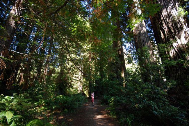 クレーターレイクからの帰り道、往きとは違った道を通りたかったのでI-101を南下しながらレッドウッド国立公園に寄りました。<br />レッドウッドのもう一つの種であるジャイアントセコイアを見たセコイア・キングスキャニオン国立公園も素晴らしいですが、こちらも深い森と海岸線を交互に走り抜けるドライブが楽しかったです。ゆっくり滞在してトレイルを歩いたりキャンプしたりで活動的に過ごすのに最適な公園でしょう。<br /><br />I-101をずっと走るドライブも、自宅近くの5車線車両専用高速道路と全く違って、小さな田舎町のメインストリートだったり、山道だったりと知らなかったI-101の顔を知ることが出来ました。<br /><br />*Redwood National and State Parks<br />http://www.nps.gov/redw/<br />(和文)http://www.seeamerica.jp/parks/california/redwood.htm