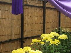 秋バラ・フェスタ終了間際の神代植物園(1)まずは菊とダリアの競演から