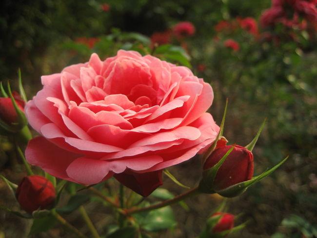 10月30日───10月6日から始まった秋バラ・フェスタも、最終日から数えて2日目。<br />バラはフェスタが終わっても11月いっぱい楽しめるとのことですが、それでもちょうどよい開花時期はフェスタの最中だろうと狙ってやって来ました。<br /><br />あいにくフェスタの催し物───夜間のライトアップ、コンサート、バラグッズ販売、ガイドツアー、ミニバラ盆栽展、鉢植えの新品種展示、バラ写真展───はどれも終わっていて、植物園とは場所も離れた新宿駅西口広場のイベントコーナーでの切り花と盛り花のコンテストくらいしか残っていませんでしたが。<br />でも新品種コンクール花壇というのがありました@<br /><br />実は、今日、このバラ園に行く前に、春のバラの季節に買った「美と香りの競演 華麗なバラたち〜愛くるしいバラから、妖艶なバラまで274種〜」(中野正皓・著/日本写真企画社・百万人の写真ライフ別冊)」という本で、前日にざっと予習しました。<br />その心は、その本の写真をお手本に、バラが主役のすてきな写真を撮るヒントを得たかったからです。<br />だって、いくらこの本が274種類ものバラを紹介しているとはいえ、これから行くところにこの本に載っているバラがあるとは限らないと思ったから。<br />もともとこの本は、バラの写真も私のツボに入るものが多かったので買いました。<br />バラの本や図鑑も、きりがないから買うまいと思っていたのですが……5月の「国際バラとガーデニングショウ」でたくさんのバラの写真を撮ってきた余韻でしょうね。<br />しばらくほっといたその本を、行く前に改めて手にとったというわけです。<br />ちょうど巻末には、バラのきれいな撮り方のコツのページもあります。<br />それによると、やはりきれいな花を見つけることが大事で、どんなに上手に撮れていても、花弁の一部が汚れていたら台無し───とありました。<br />そりゃそうですね、と思う反面、実際に写真を撮ってるときは、花の汚れに気づかなかったり、疲れてきて思うような写真が撮れなくて妥協してしまうこともあったりします。<br />だからこそ、この基本事項をもう一度頭に入れておくことに意味はあったと思い間す。<br /><br />また、2週間くらい前に、買ったばかりの「花の写真術──感じて写す&quot;自分流&quot;フラワーフォト」(小林義明・著/日本カメラ社)という本でも予習しました。<br />そのときは、目当てはコスモスの撮り方だったのですが、秋バラも載っていたのでついでに。<br />それによると、バラは繊細なので、複数の花を画面に入れようとすると、どこか痛んだ花を選ばないようにするのは難しく、「痛んだ花を画面に入れないようにすると、どうしてもクローズアップで1輪の花を捉えることになり、同じような図鑑写真ばかりが並ぶことになる」とあります。<br /><br />───なるほど、いくらバラ園が広くても、バラのショウやコンテストに出品されている花を撮るのとは勝手が違うようです。<br />コンテスト出品作品ともなれば、痛んでいないきれいな花が基本ですから、さくさく写真を撮れてしまいますが……バラ園に行くのはこれが初めての私、もしかしたら思ったよりちゃんとした写真はクたくさん撮れないかもしれない、と覚悟の上でやって来ました。<br />それならそれで、花そのものの観賞を第一目的にするしかないかな。<br /><br />と思ったのですが、とんでもなかったです。<br />たくさんの花がちょうど見ごろを迎えているのです。<br />あれだけ材料がそろっていれば、思うような写真がたくさん撮れないのは、私の腕のせいにほかなりません。<br />そりゃあ、中には、「この花が撮りたいのに!」と思っても、花が遠すぎたり、近くにはきれいに咲いているのがなかったりなど、撮影できずにあきらめたものもありました。<br />でも、移り気な私が、両手に余るどころでないくらいの花に囲まれているのです。<br />すぐに「別の花があるさ」と蝶々のようにふらふらと@<br />風が吹いて揺れてしまったり、痛んだ花をファインダー内に入れないように気をつけたりしている分、ショウの出展作品を撮るのに比べたら時間はかかりましたが、思った以上にたくさんの写真の収穫がありました。<br /><br />それにしても、バラの品種は1万以上もあり、それにも飽きたらず今でもどんどん新品種が作られているとのこと。素人にはクラクラしそうな世界ですが───神代植物園では、ちょうど予習に使った「美と香りの競演 華麗なバラたち」で紹介されていたバラを多く見つけることができました。<br />
