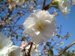 2007  我が家の周辺で見た秋?2 秋に咲く桜!!