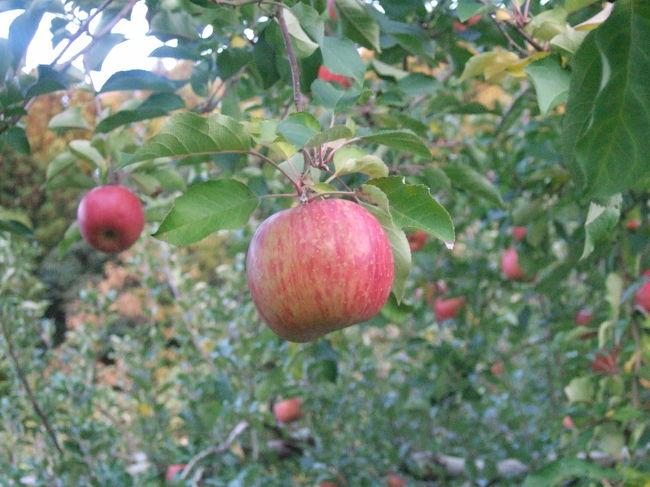そろそろ暗くなってきて一日が終わる。<br />(リンゴ狩り、間に合うかな~?)<br /><br />おやき学校の店員さんに聞いてみたら、<br />近くのリンゴ園に電話までかけ、予約(?)をしてくれた。<br /><br />初めてのリンゴ狩り(私は3回目?)。<br /><br /><br />最後はゆったりとお風呂に入って帰ってきました。。。
