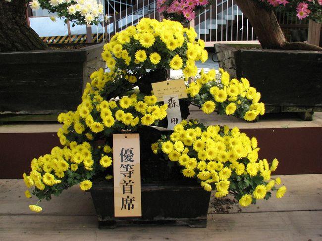 成田山の菊花展は、明治16年より続く伝統行事で、成田山菊花会のご奉納による盆栽や懸崖・鉢物など多種多様な菊花を10月下旬から約1ケ月展示されます。<br />会場は、成田山新勝寺の大本堂西側(釈迦堂周辺)で、毎年多くの優秀花が出品され、愛好家から高い評価を受けています。