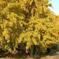 黄金色に染まる晩秋の祖父江町