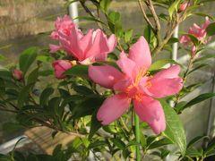 佐倉市散策(11)・・歴博くらしの植物苑に冬の華・サザンカを訪ねます。