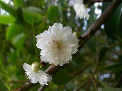 子福桜を探しに木場公園へ