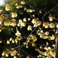 小さな旅●ロウバイの咲く頃・名古屋市農業センター
