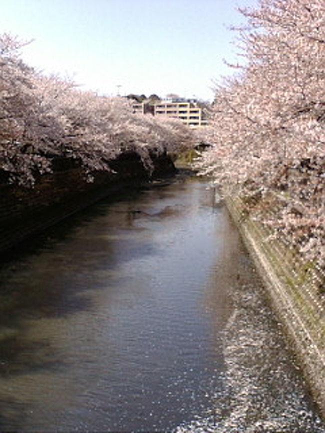 毎年3月下旬から翌4月上旬にわたり、横浜市内中心部を流れる大岡川の中流域から下流域にかけて桜花のトンネルが数キロにわたり繰り広げられます。<br /><br />此の桜樹帯は横浜市が明治期の市制施行以前より存在したものが関東大震災で丸焼けとなり、震<br />災後の護岸改修と共に、昭和3年に改められて植樹されました。然し、太平洋戦争中に横浜市民の燃料不足が原因から全ての木が伐採されてしまいました。<br />戦後、大岡川流域は殺伐とした殺風景な光景が続く状態でしたが、昭和47年になり再度植樹されたものが現在に至ってます。