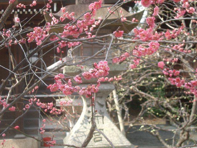 もう梅が三分咲きです。梅の匂いを嗅ぐと春の足音が聞こえます。気分も暖かくなった感じです。