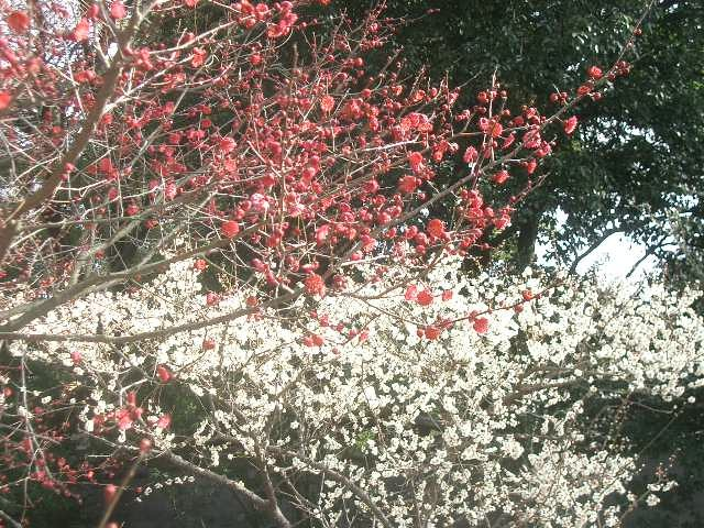 御苑の梅林に今年も来ました。紅梅、白梅と艶をきそって咲いていました。いいにおいです。春は御苑から始まるようです。
