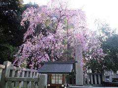 乃木神社のしだれ桜