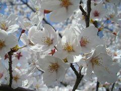 ☆満開の桜☆─井の頭公園─