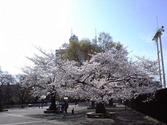 土曜日の早朝なので、花見客もいない代々木公園。<br />