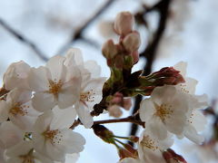 一足早かった万博記念公園の桜
