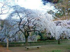 桜の古都 京都(京都御苑)