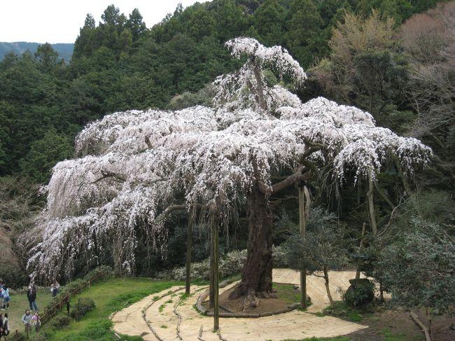 今が満開の桜が見たい!と小田原の入生田に<br />ある樹齢330年の長興山の枝垂れ桜に会いに行きました。<br />数年前に見たときは満開に程遠かったのですが<br />今年はドンピシャのタイミングで優美な姿を見ることが<br />出来ました。そして桜を堪能した後は近くの<br />神奈川県立生命の星・地球博物館へ